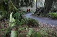 A couple walk through the lush rain forest of the Hoh River Valley in the Olympic National Park of Washington.
