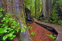 This boardwalk trail runs through the enchanted woods of the coastal rainforest of Pacific Rim National Park, which is located on Vancouver Island in British Columbia. These two trees are western red cedar, for which Pacific Rim National Park is known.
