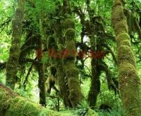 Pure Nature in the ever green rainforest in the Olympic National Park in the Pacific Northwest in Washington State.