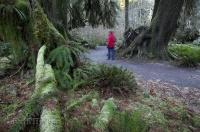 A visitor to the Hoh Rainforest in the Olympic National Park in Washington, strolls along the meandering forest path.
