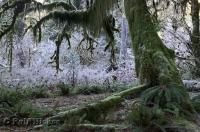 The still moss draped trees on a frosty morning in the Hoh Rainforest in the Olympic National Park of Washington, USA.