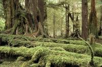 The moss covered logs in the rainforest of the Queen Charlotte Islands, Graham Island in British Columbia, Canada