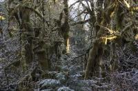 The frosted undergrowth at the Hoh Rainforest in the Olympic National Park in Washington on a cool winter morning.