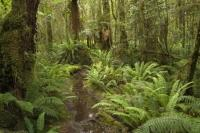 The lush flora of the Rainforests of Fiordland National Park in the lower South Island of New Zealand.
