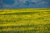 A plant with bright yellow flowers, Rapeseed which is high in omega 6 and omega 3, is cultivated in large fields across the prairies of Canada and are an important agriculture crop in Saskatchewan.