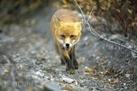 The sleek looking Red Fox quietly strolls through Denali National Park in Alaska, USA.
