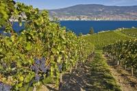 Succulent clusters of red grapes growing on grapevines on the shores of Okanagan Lake at Bonitas Winery in Summerland.