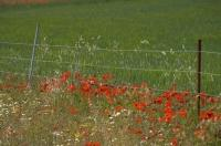 Red poppies and other wildflowers edge a wheat field near Morella in Valencia, Spain.