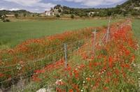 Each wheat field near the town of Morella in Valancia, Spain is bordered with the bright red coloring created by the wildflower known as the Poppy.