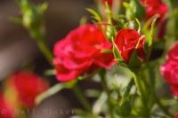 A red rose bud starting to bloom in a garden in the village of Oliva Nova in Valencia, Spain in Europe.