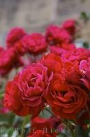 A beautiful and fragrant cluster of blooming red roses adorn the gardens in the village of Loarre, Spain.