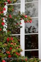 Around the window of the Villa Bottini in the City of Lucca in the Region of Tuscany, Italy, beautiful red flowers blossom in the Spring.