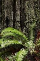 A lush green fern grows at the base of a Redwood Tree in the Humboldt Redwoods State Park in California, USA.