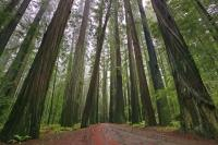 The Avenue of the Giants is a forest of some of the world's largest trees situated in the Redwood National Park in California, USA.