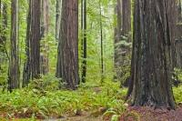 Stand Of Redwood Trees California USA
