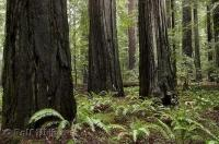 A stand of massive redwood trees at the Humboldt Redwoods State Park in California, USA.