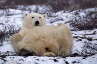 A relaxed animal in its element, polar bears are more animated in a very cold climate such as that of Hudson Bay during the winter.