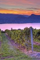 The surface of Okanagan Lake reflects the pink and lavender colours of a romantic sunset over grapevines at Lang Vineyard at Naramata in the Okanagan region of British Columbia, Canada