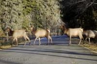 A small herd of Roosevelt Elk cross the road in the Hoh Rainforest area in the Olympic National Park of Washington, USA.