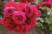 Rose Bush Picture