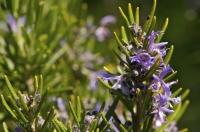 Rosemary shrub blooming at La Source Parfumee near Gourdon in Provence, France.