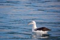 Seen during a tour with Encounter Kaikoura, a Northern Royal Albatross resting on the water off the coast of Kaikoura on the South Island of New Zealand.