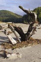 San Josef Bay Beach Drift Wood