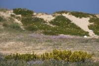 Sand Dune Vegetation Costa Blanca