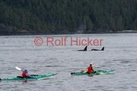 Image of sea kayaking of Vancouver Island with orca whales in Johnstone Strait