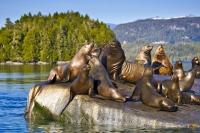 A commonly seen sea animal off the coast of Northern Vancouver Island, a harem of Steller sea lions are seen here resting on a rock in the Broughton Archipelago, British Columbia, Canada.