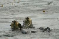 A couple of sea otters pose for the camera around Northern Vancouver Island in British Columbia, Canada.