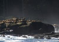 Stellar Sealions on Hope Island off the Vancouver Island coast