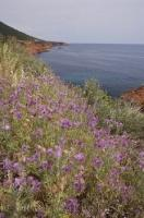 The mauve thistles growing across the landscape contrast with the red rocks of the coastal seaside along the Cote d'Azur in Provence, France.