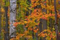 The Shades of Autumn near Rock Lake in Algonquin Provincial Park, Ontario, Canada are reminiscent of the work of Tom Thomson and A Y Jackson the famous Canadian painters who formed part of the Group of Seven artists.