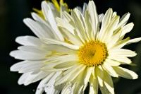 Shasta Daisy Flowers Picture