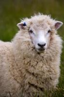 Sheep Portrait Picture Titirangi Bay Campground Marlborough South Island New Zealand