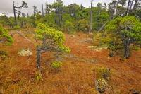 Shore Pine Trees Forest Picture