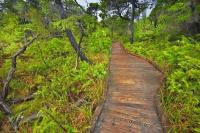 This wooden trail is the Shorepine Bog Trail in the Pacific Rim National Park. This is part of the Long Beach Unit in the Clayoquot Sound UNESCO Biosphere Reserve on the West Coast of Vancouver Island in the gorgeous province of British Columbia.
