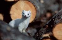 A short tailed weasel is looking through a pile of firewood in Northern Alaska