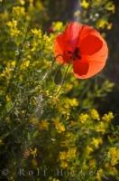 A lonely poppy in front of the yellow wildflowers shows the simple beauty of a single bloom as it grows across the landscape in the village of Moustiers Ste Marie in Alpes de Haute in Provence, France.