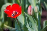 A single red tulip opens up to the sunlight as the other tulips remain in bud form in the gardens of the Parliament Buildings in Ottawa, Ontario in Canada.