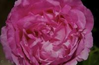 A close up of a single pink rose which is gradually opening in the village of Loarre in Aragon, Spain.