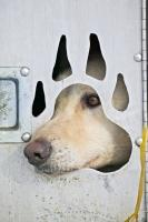 A cute sled dog peers out from his kennel at the nearby activity at a sled dog race.