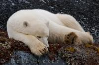 Sleeping Polar Bear Churchill Manitoba Canada