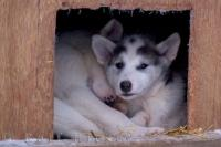 This picture was taken in Churchill, Manitoba as one Canadian Eskimo Dog puppy stays awake as the other puppies snuggle together in their dog house.