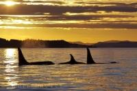 At sunset off Northern Vancouver Island in British Columbia, Canada three Killer Whales decide it is time to do a little sleeping.