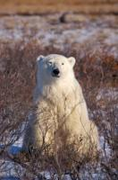 During the onset of winter in Churchill, Manitoba in Canada, a Polar Bear sits amongst the brush with sleepy looking eyes.