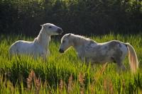 The small horses of the Camargue pause to eat in the long grasses of the Plaine de Camargue, near Arles in Provence, France.