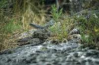An almost hidden snake on a rock amongst the long grass in the Fathom Five National Park on Bruce Peninsula in Ontario, Canada.