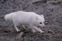 Snow White Arctic Fox Hudson Bay Tundra Churchill